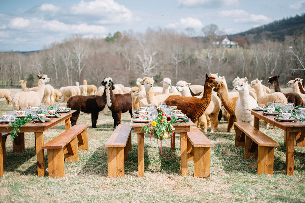 Technicolor-Dream-Alpacas-Sarah-Houston8